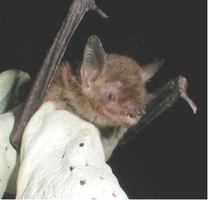 A photo of a cave myotis face.