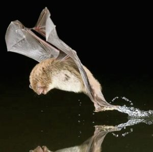 A photo of a Daubenton's bat catching prey in water.