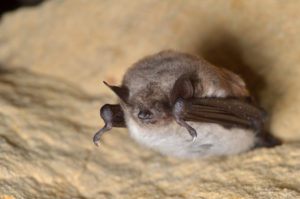 A photograph of a sleeping Pond bat.
