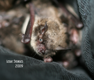 A photograph of a juvenile little brown bat taken at Save Lucy in the summer of 2009.