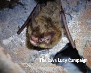 A photograph of an adorable Northern Long-Ear that spent time at Save Lucy.