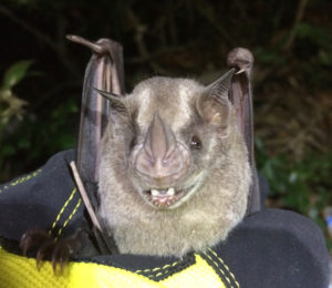 A photograph of the first Jamaican fruit bat bat fouond on St. Thomas since the hurricanes.