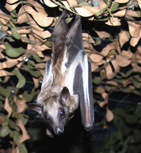 A photograph of Bootsana a straw colored fruit bat who lives at Bat World Sanctuary.