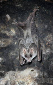 A photograph of a beautiful false vampire bat hanging from a cave wall.