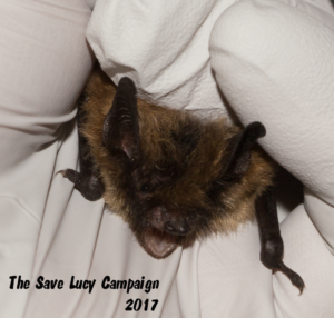 A photograph of the face of a small footed bat that stayed at Save Lucy this past spring.