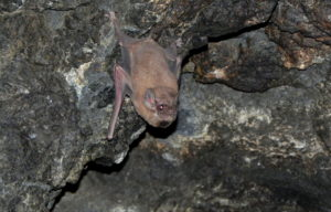 A photograph of a male black-bearded tomb bat showing his black beard, which is black fur under his chin.