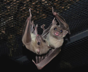 A photograph of Egyptian fruits bats Peekaboo and Boo 2 hanging together at Bat World Sanctuary.
