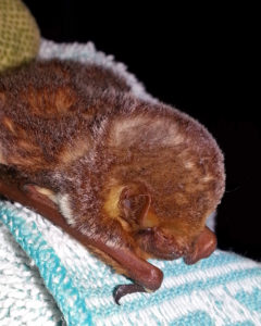 A photograph of a fluffy Seminole bat that stayed at Save Lucy in 2014.