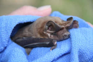 A phtograph of the face of A beautiful and very rare Florida bonneted bat. Photo by Gary Morse of Florida Fish & Wildlife Commission.