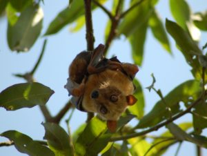 A beautiful Sulawesi flying fox hanging from a branch