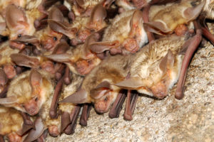 A photograph of a roosting colony of pallid bats. Some are looking at the camera.