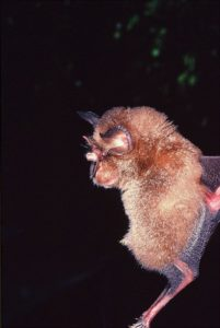 A photograph of a, arcuate horseshoe bat
