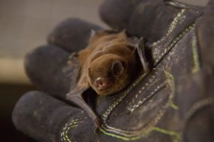 A photograph of a chocolate wattled bat in a gloved hand