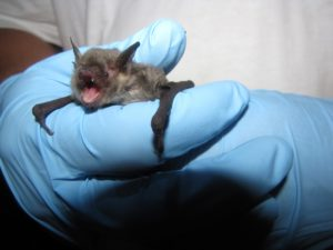 A phot of a gray bat held by a scientist.