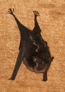 A photo photo of a greater sac-winged bat
