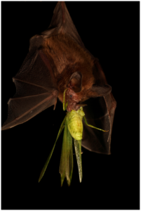 A photograph of a common big-eared bat eating a katydid!! The katydid is bigger than the bat's head.  Photo by Christian Ziegler
