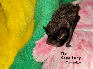 A photograph of a silver haired bat, number 2019-19, resting comfortably at Save Lucy Campaign headquarters.