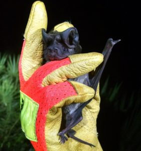 A photograph of a Florida bonneted bat held in a gloved hand