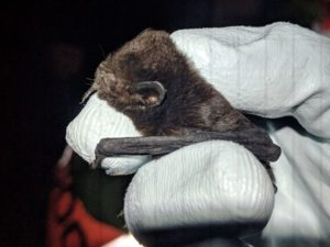 A photograph of a New Zealand Long Tailed bat, by the amazing Nils Bouillard of The Big Bat Year.