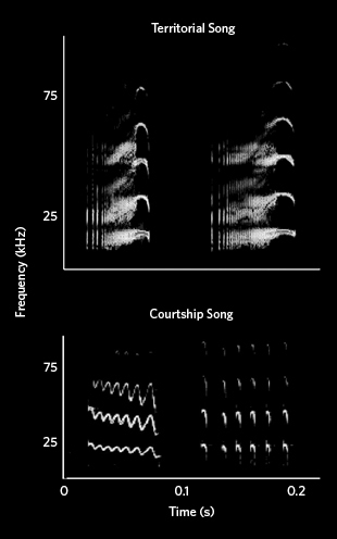 Sonograms of bats' courtship and social calls.