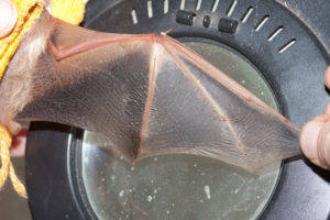 A photograph of an outstretched bat wing.