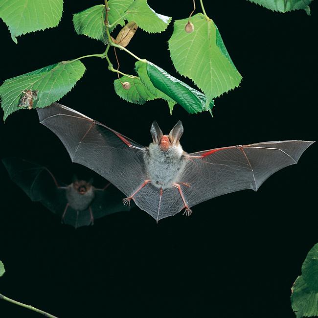 Myotis_bechsteinii-flying