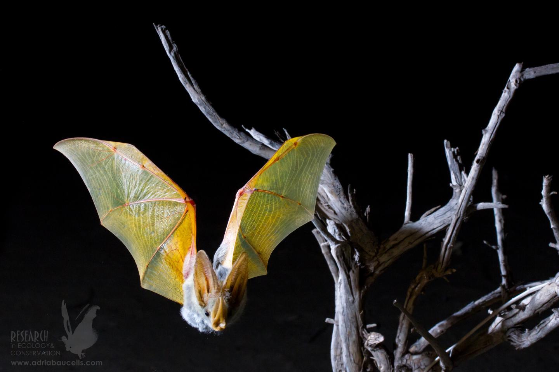 yellow-winged-bat